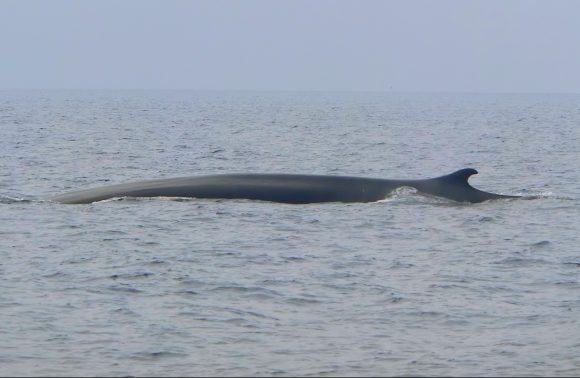 Whale Watching in Liguria